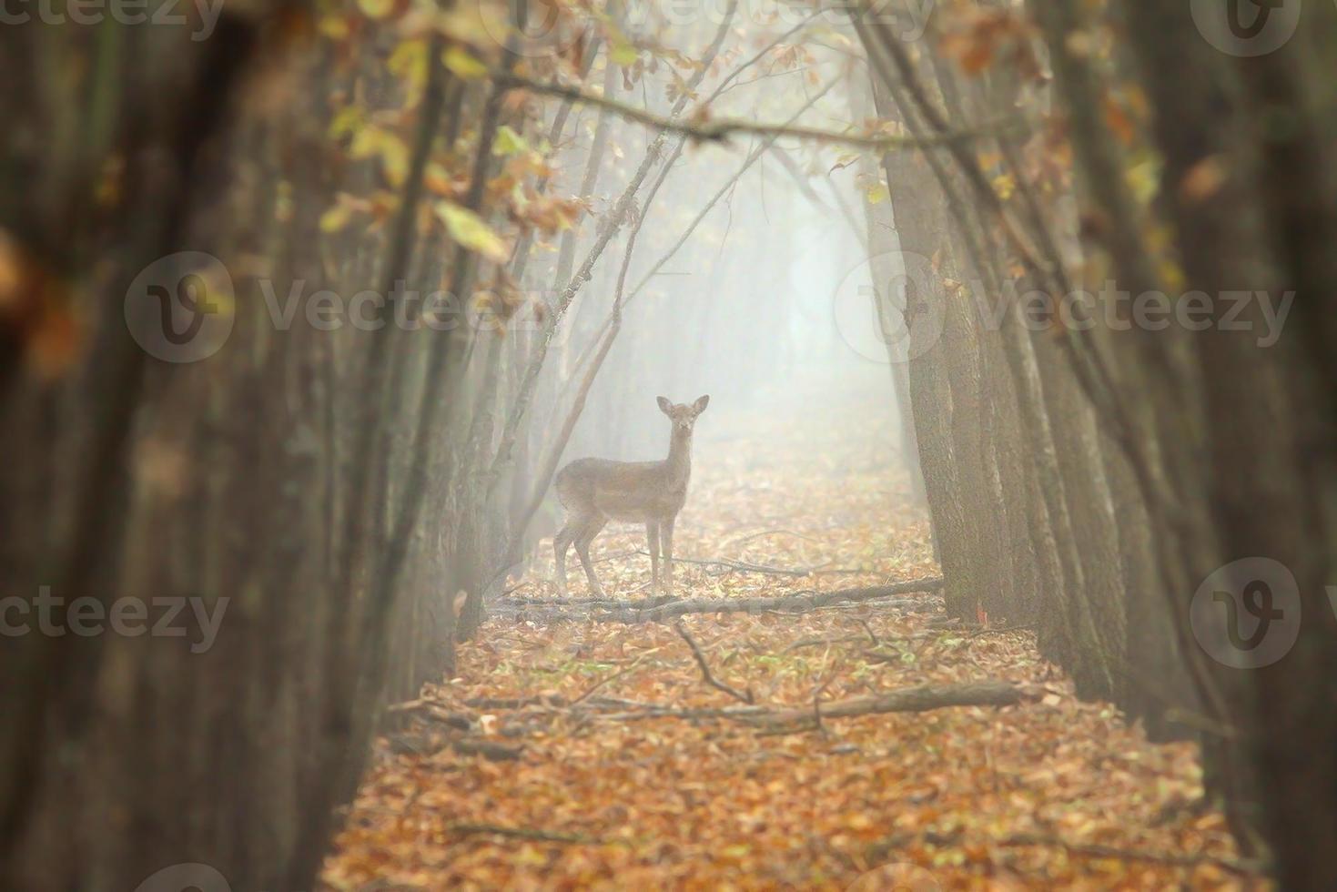 daino nella foresta nebbiosa foto
