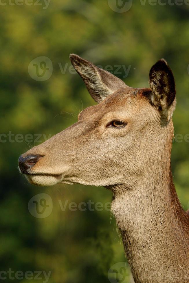 cervo, cervo, cervus elaphus foto