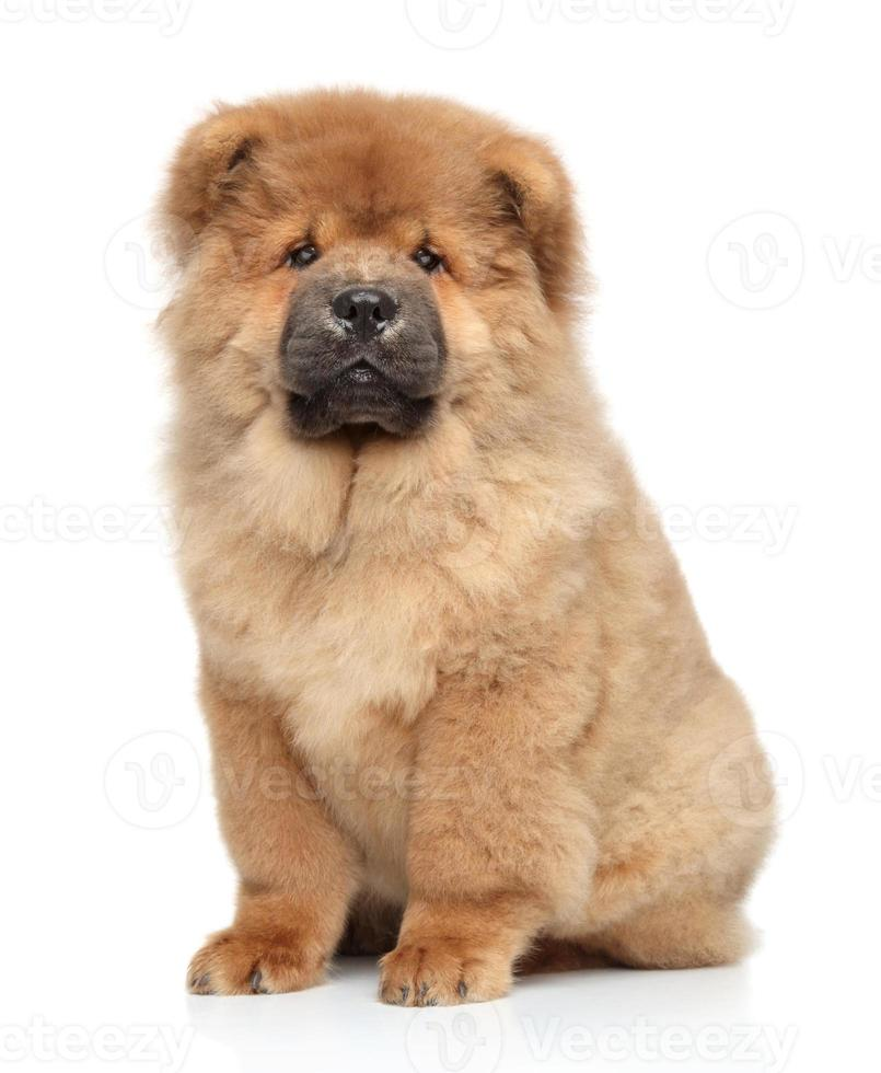 cucciolo di Chow-Chow foto