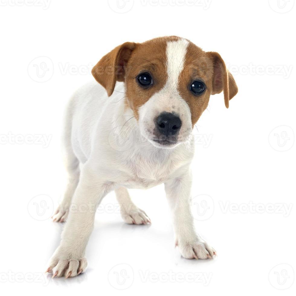 cucciolo di jack russel terrier foto