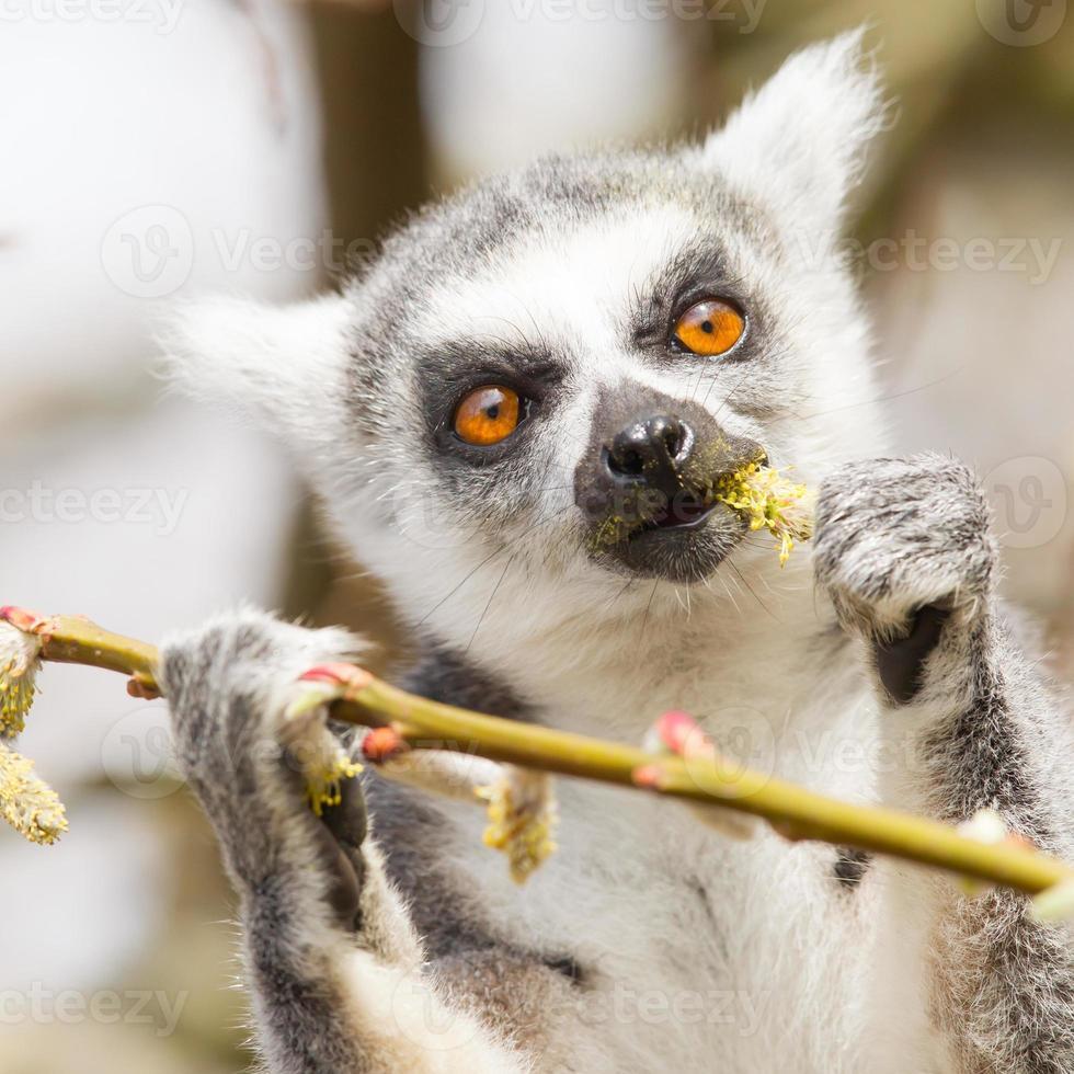 Lemure catta che mangiano foto