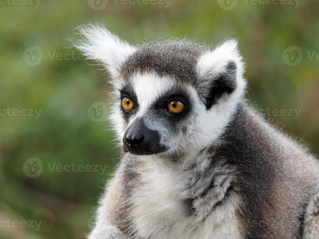 Lemure dalla coda ad anelli foto