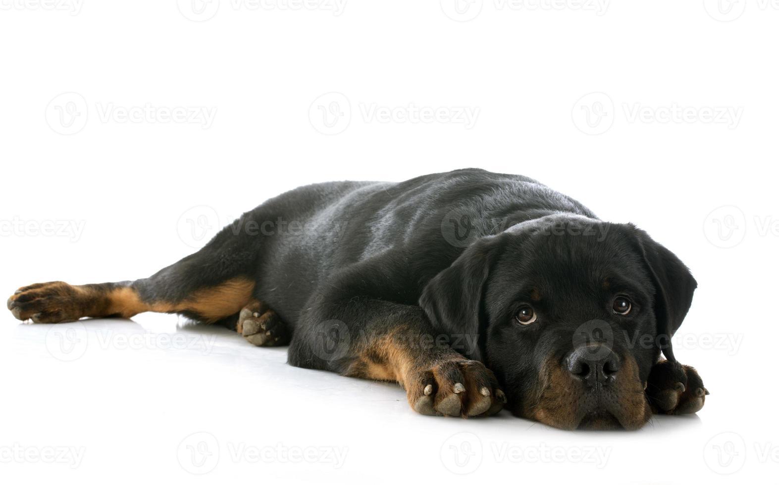 rottweiler cucciolo foto