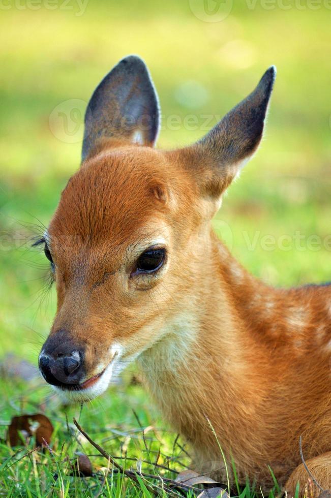 giovane cervo foto