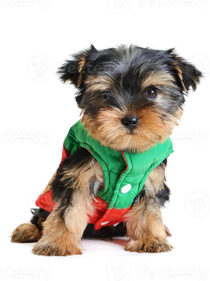 Yorkshire Terrier foto