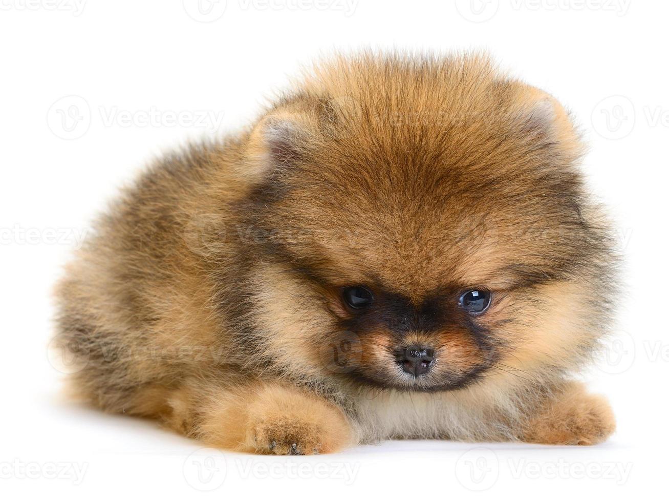 cucciolo di Pomerania foto