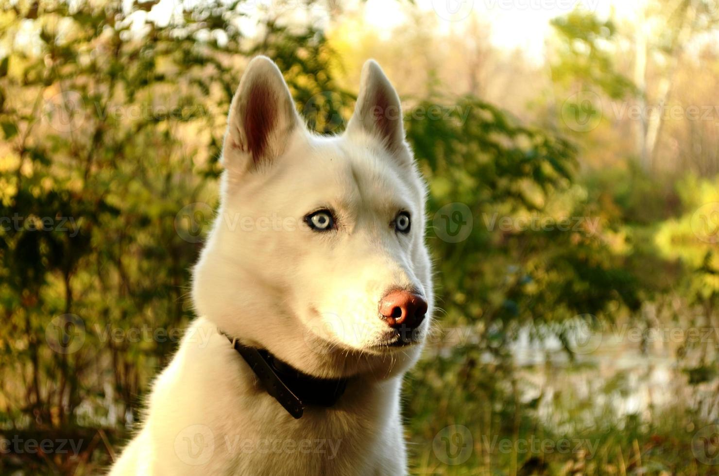 husky bianco foto
