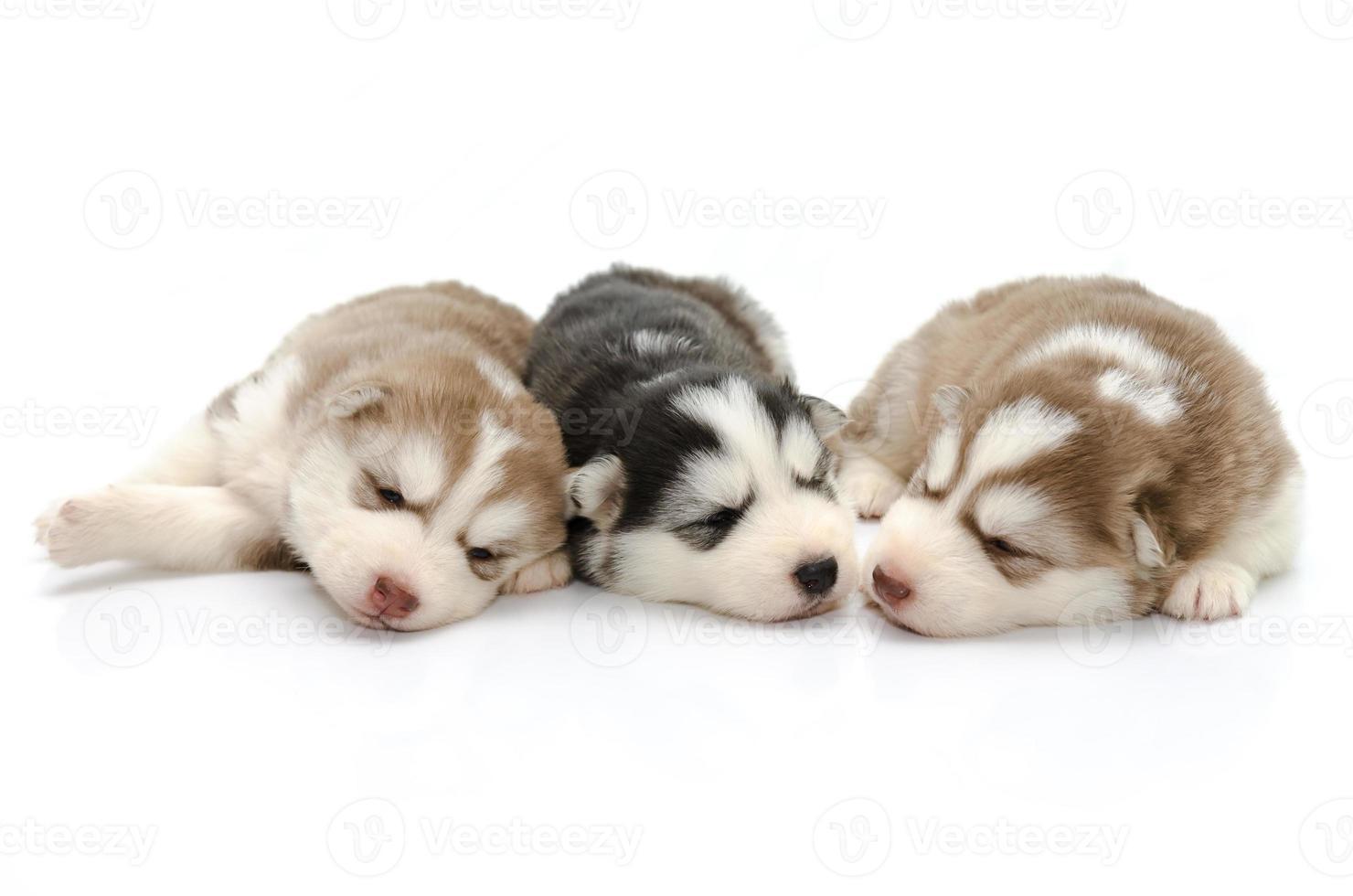 husky siberiano dei cuccioli svegli che dorme sul fondo bianco foto