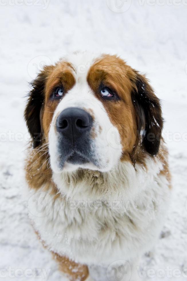 cane di san bernardo foto