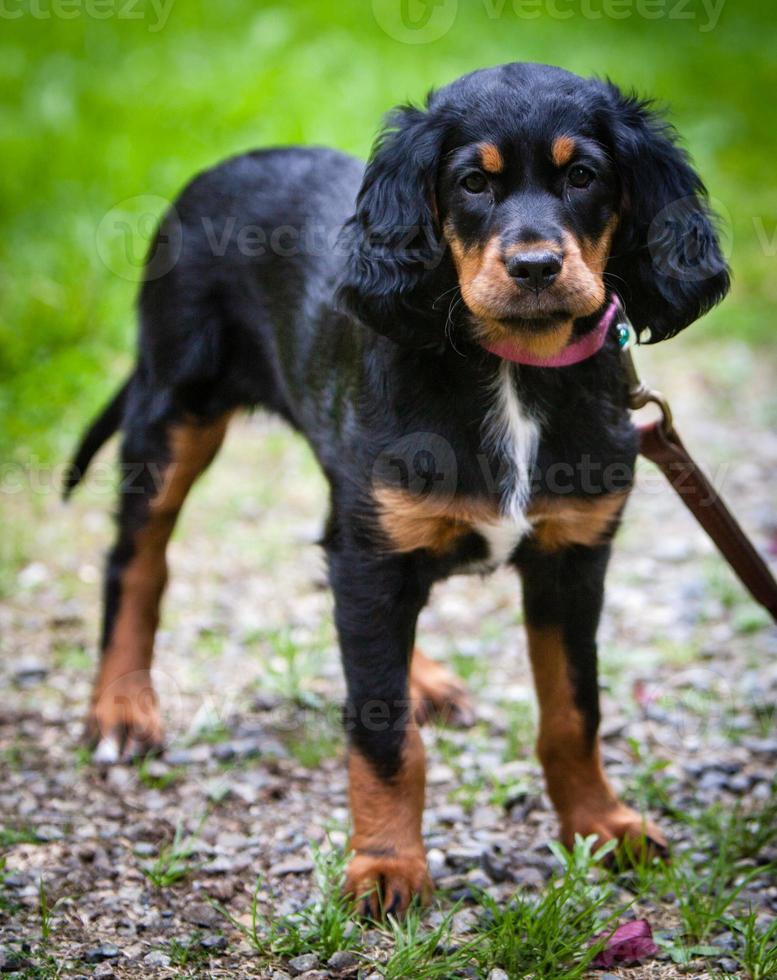 cucciolo di setter gordon in piedi con il collare e il guinzaglio rosa foto