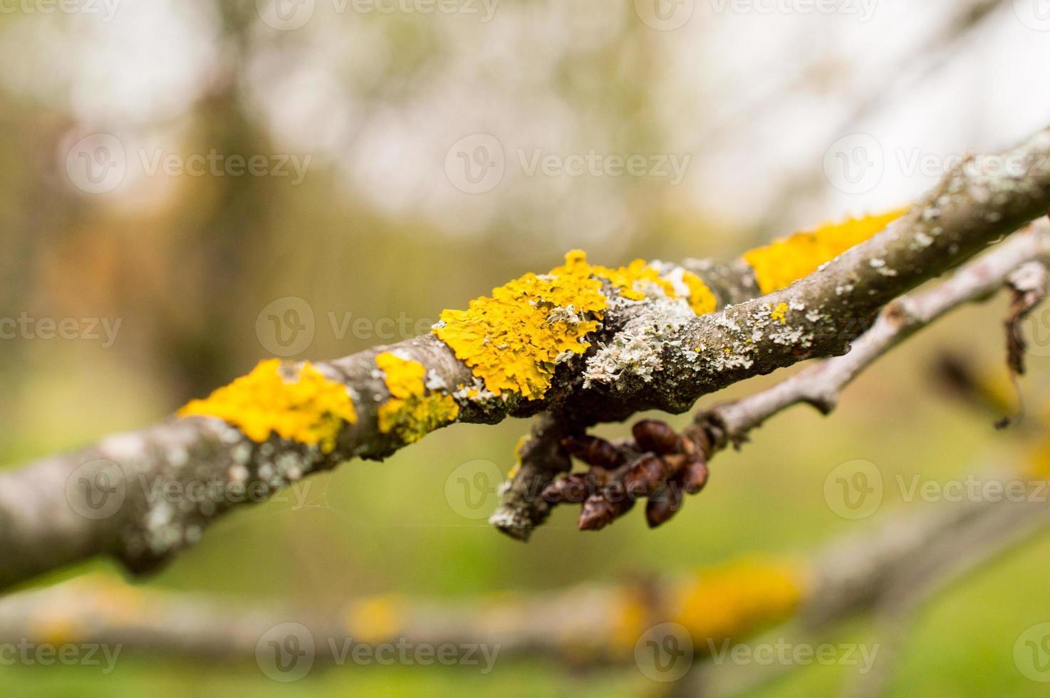 lichene sull'albero foto