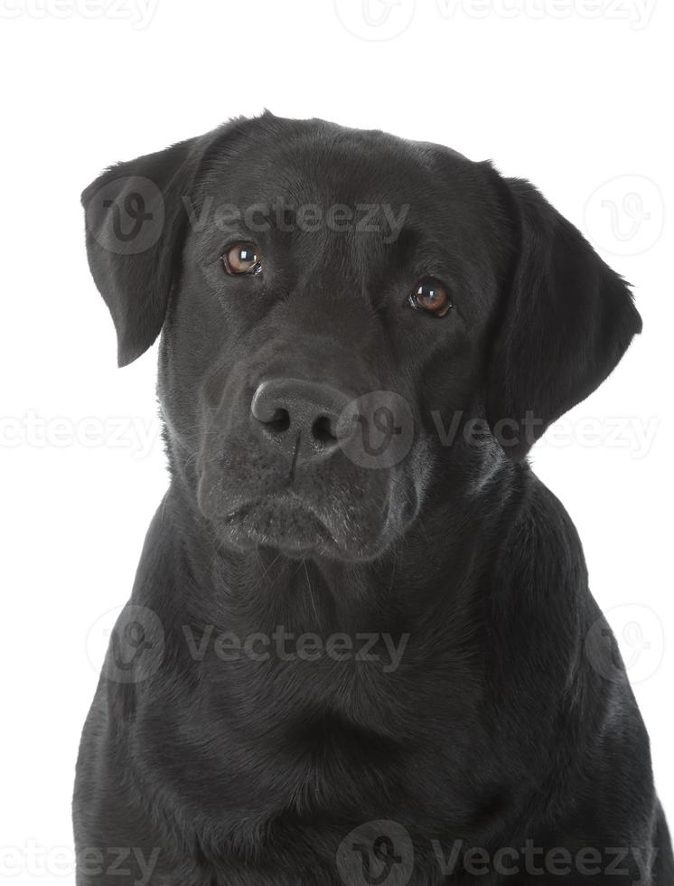 labrador retriever nero foto