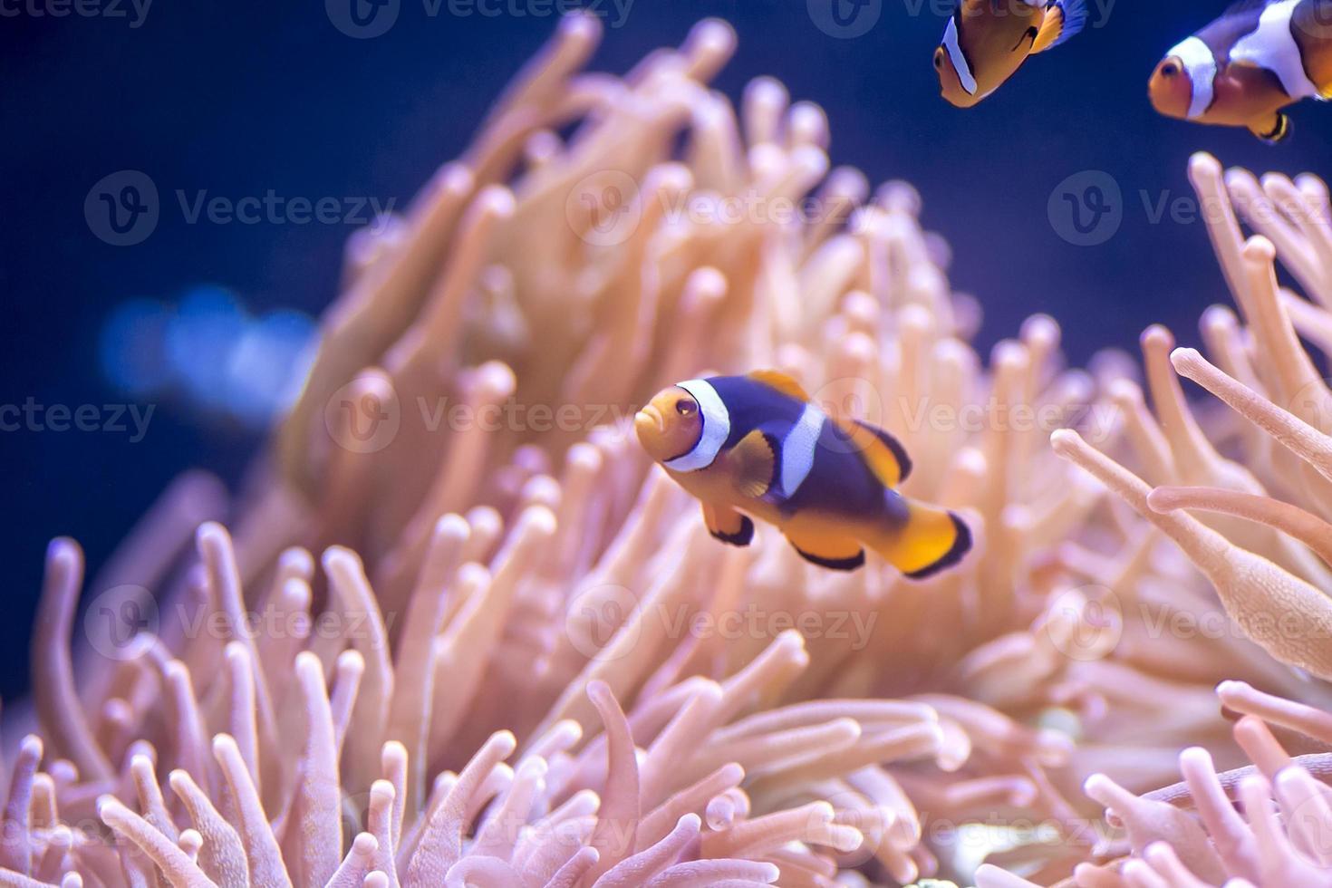 pesce pagliaccio foto