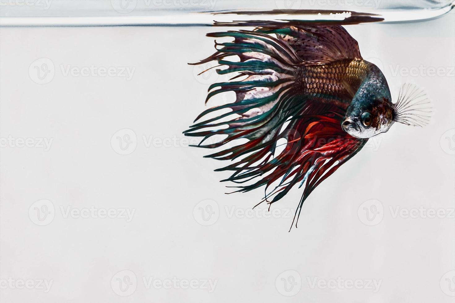 pesce combattente siamese, pesce betta foto