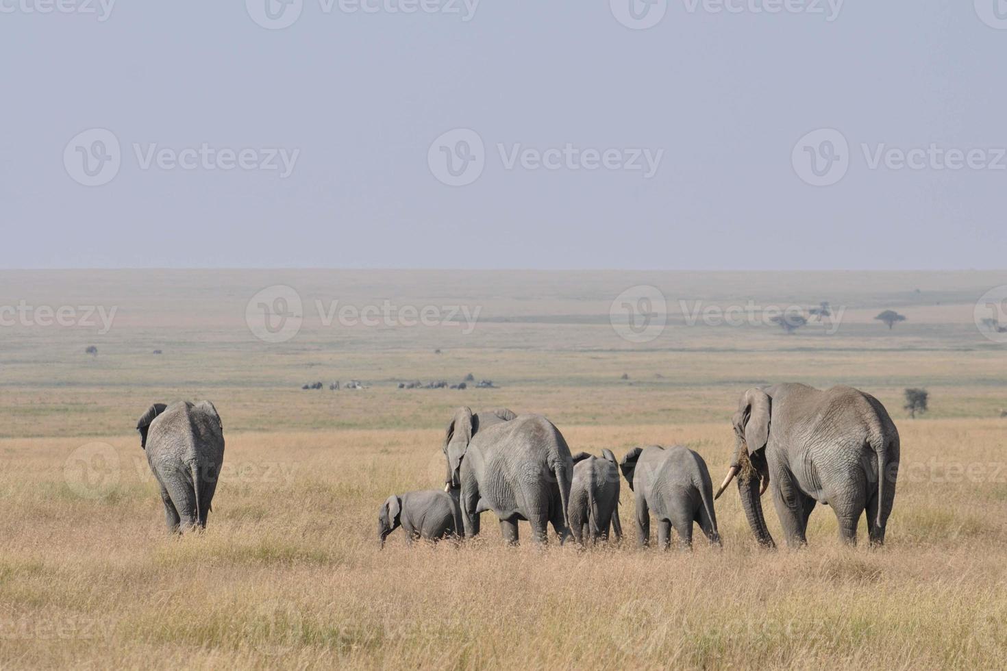 branco di elefanti che si allontana foto