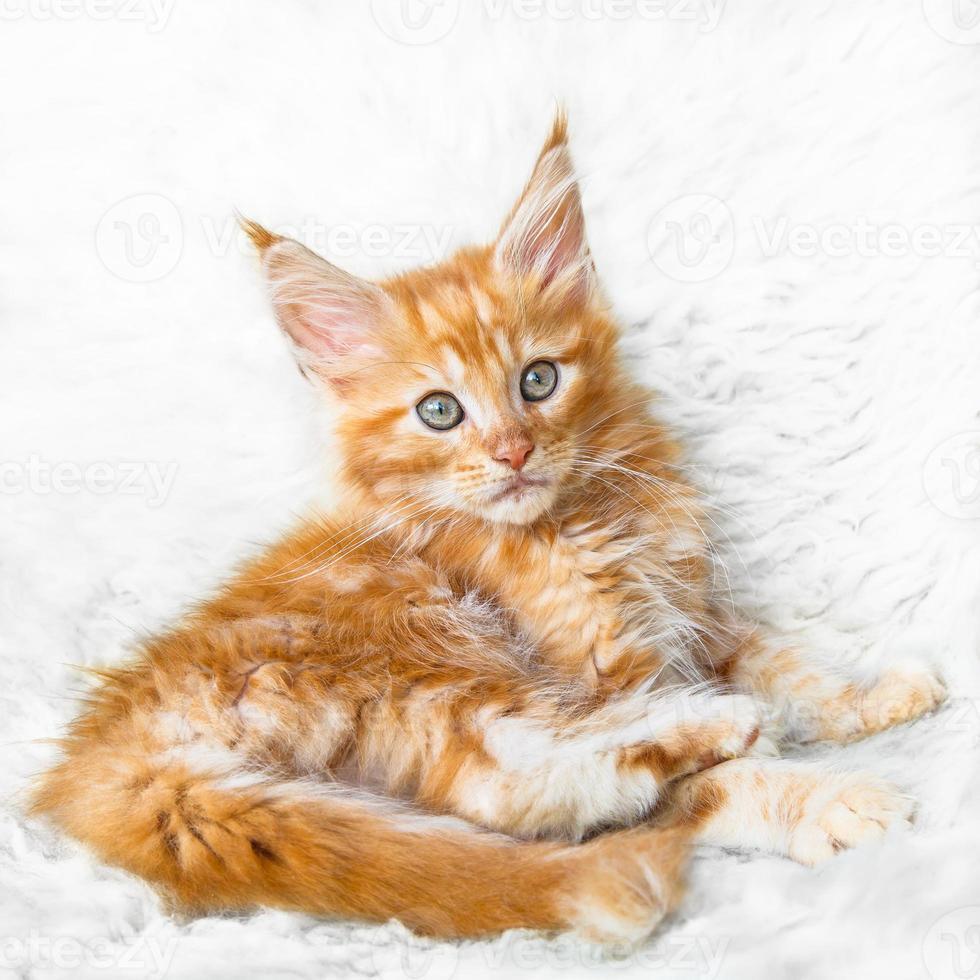 posa sexy rossa del gattino del procione lavatore di Maine foto