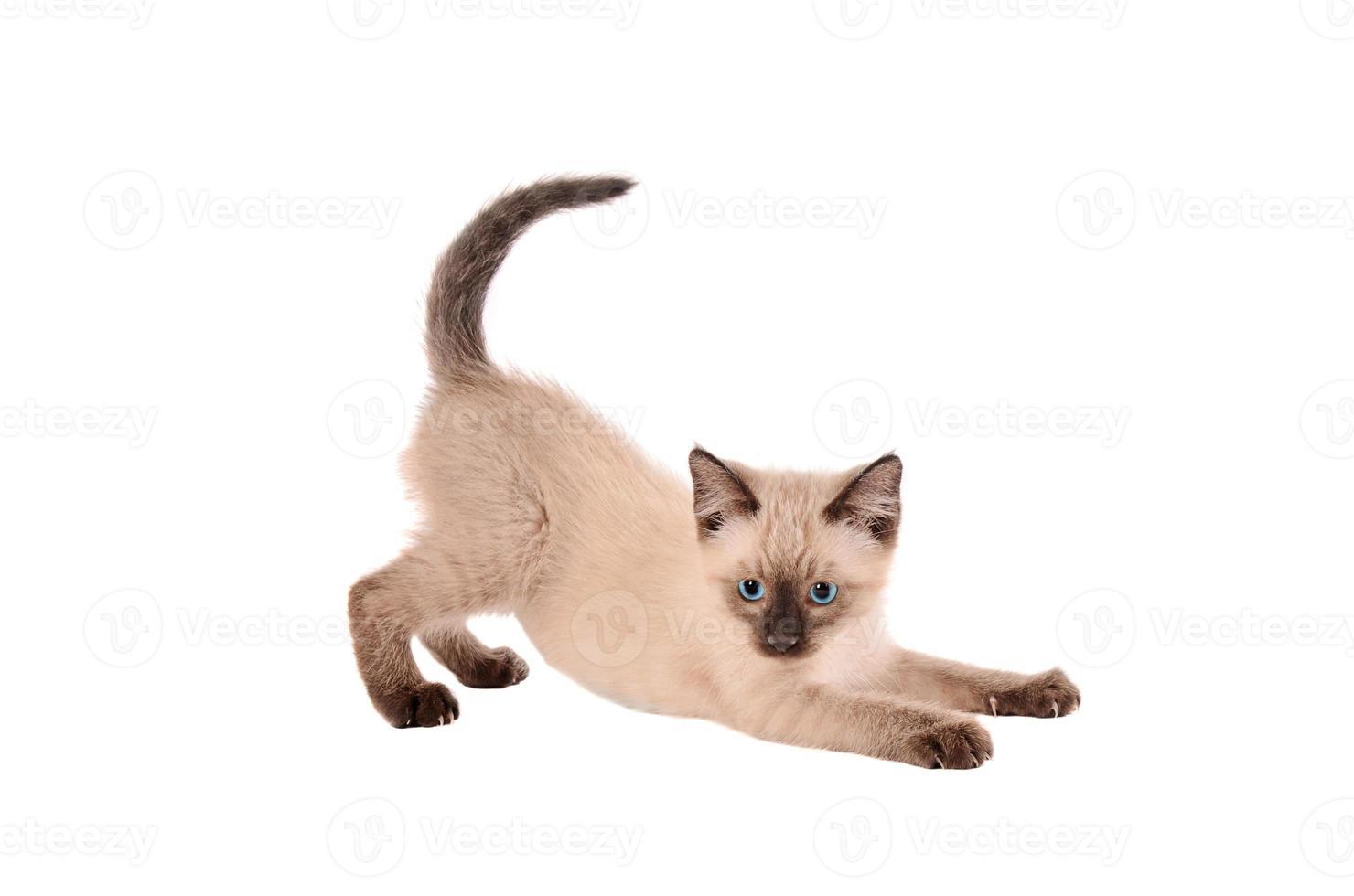 allungando gattino siemese foto