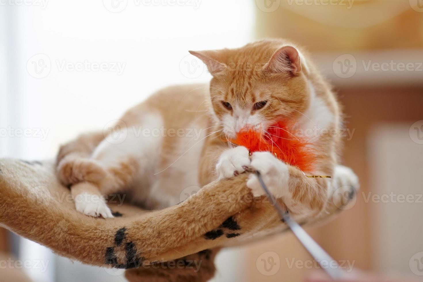 rosso con il bianco gioca il gatto domestico foto