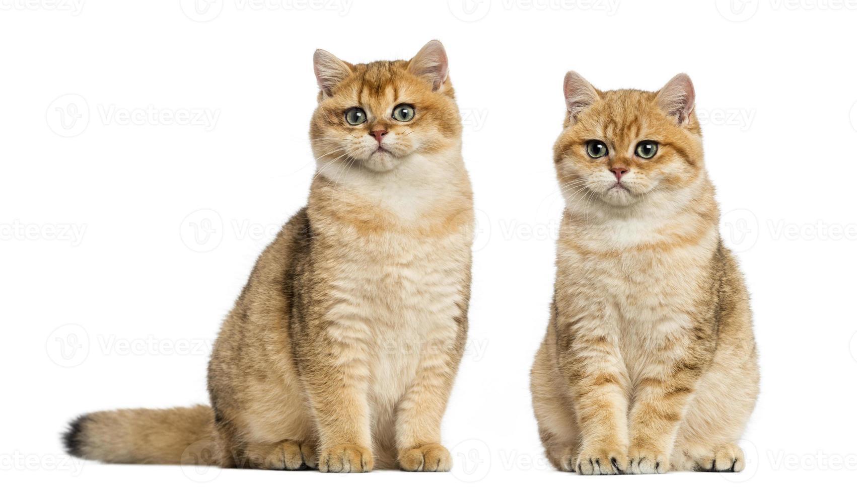 due british shorthair seduto, isolato su bianco foto