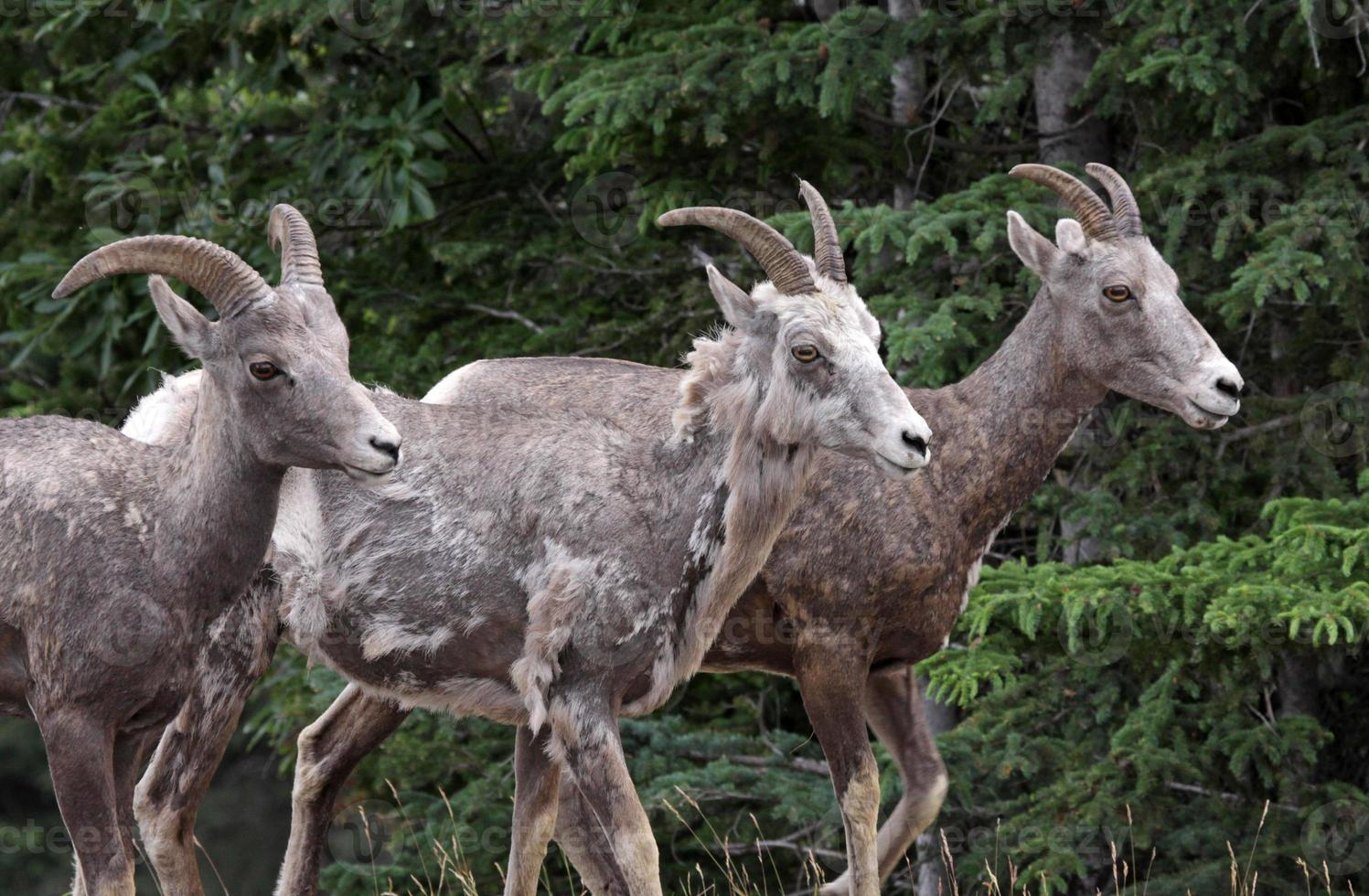 tre pecore bighorn foto