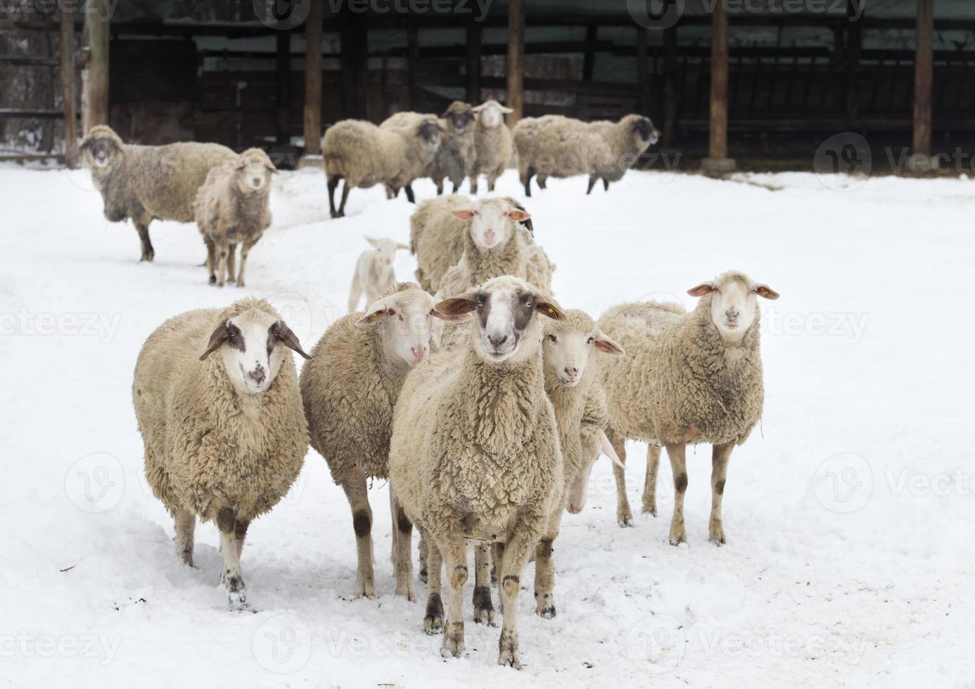 pecore sulla neve foto