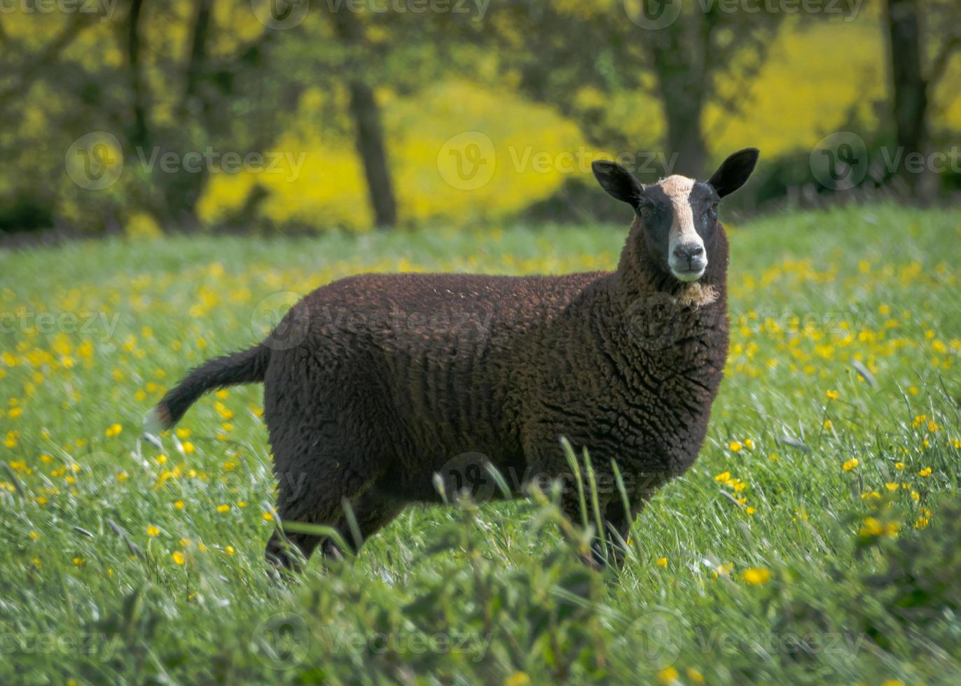 agnello nero foto