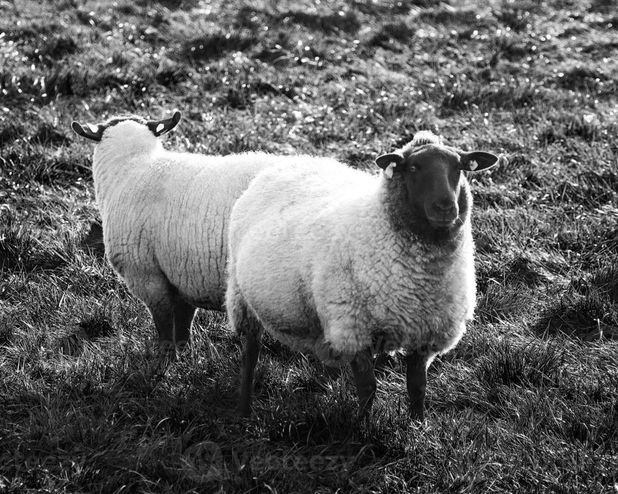 due pecore foto