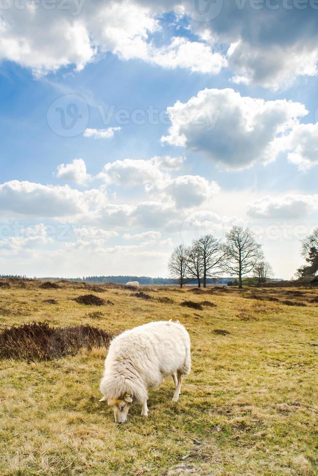 nuvole e pecore alle dune di sabbia nel Drenthe, Appelscha foto