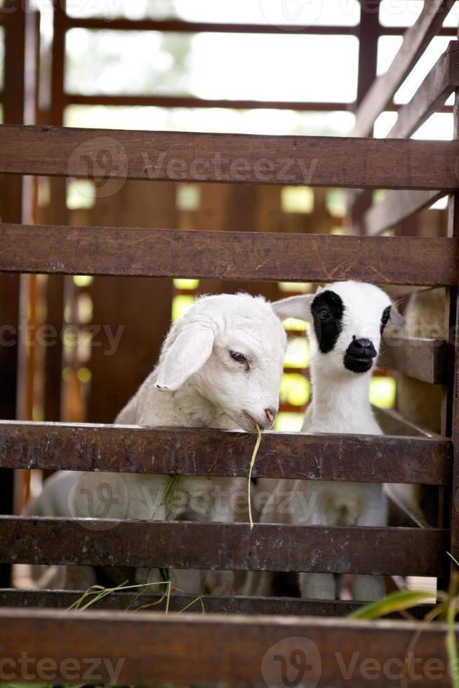 mangiare pecore foto