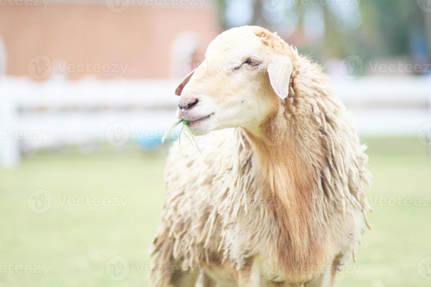 le pecore all'azienda agricola di ratchaburi, ratchaburi Tailandia foto