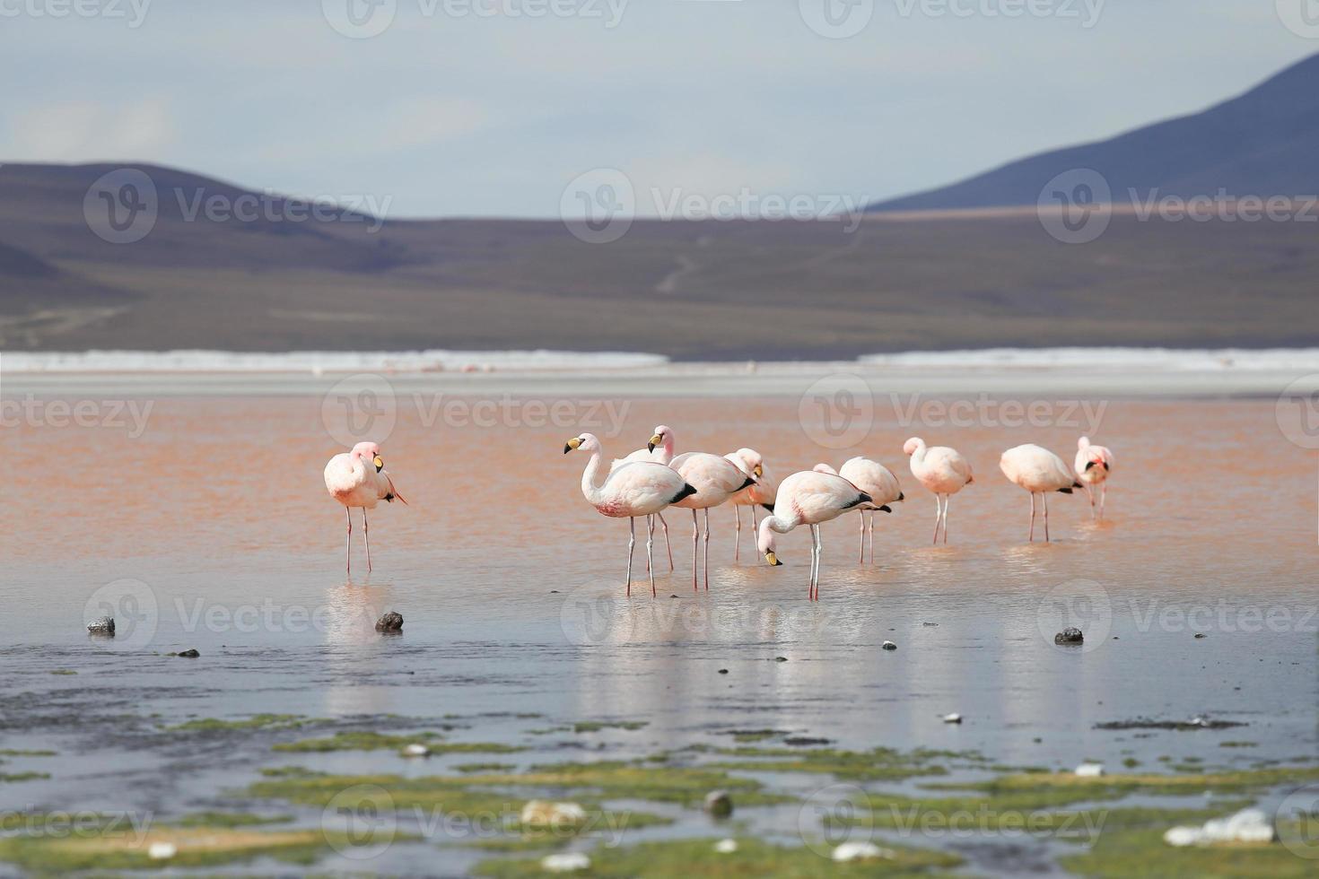 fenicotteri sul lago rosso, lago salato, bolivia foto