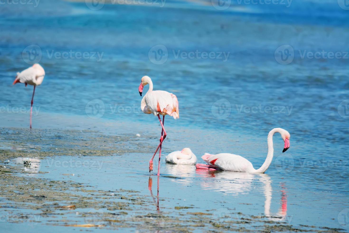 fenicotteri nell'acqua foto