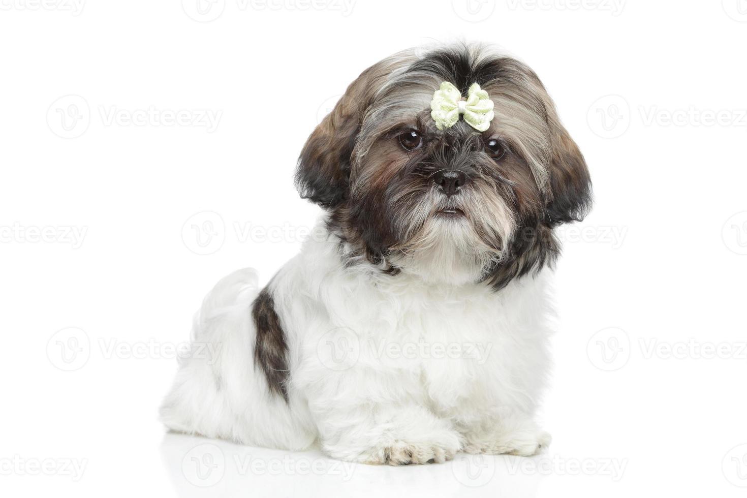 Ritratto di cucciolo di shitzu su sfondo bianco foto