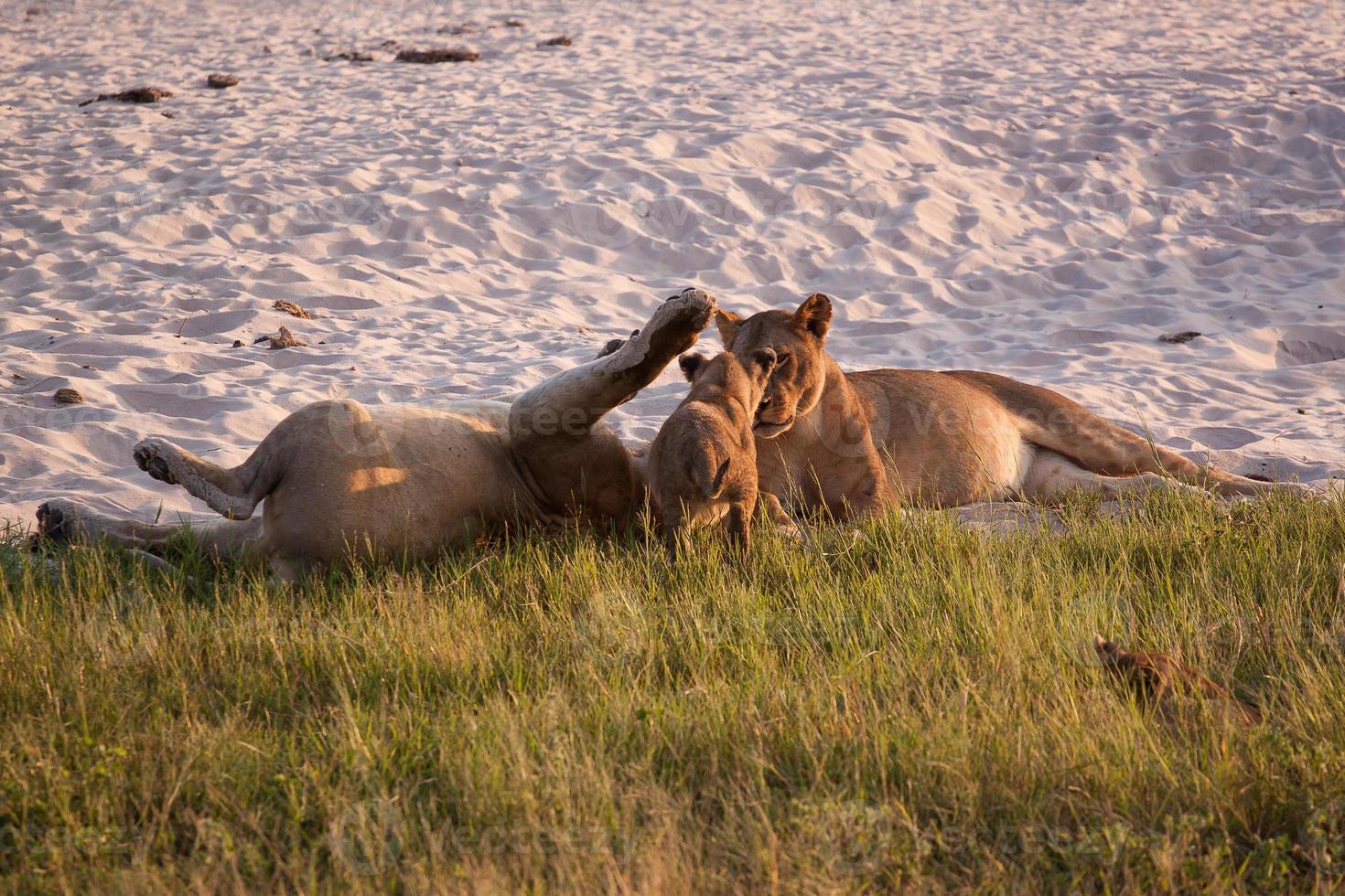 leonesse che giocano con il cucciolo foto