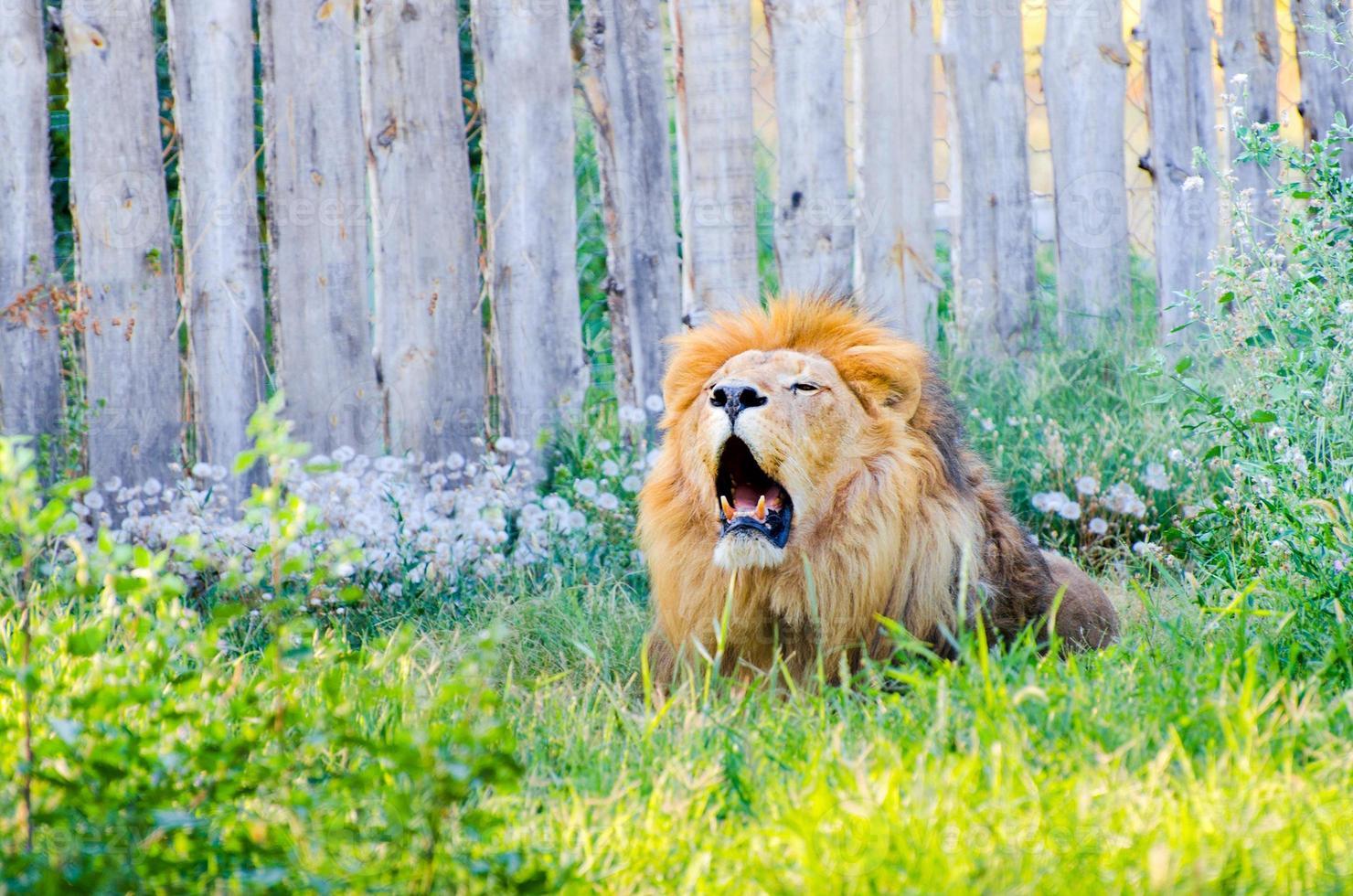 colpo del primo piano del leone ruggente foto