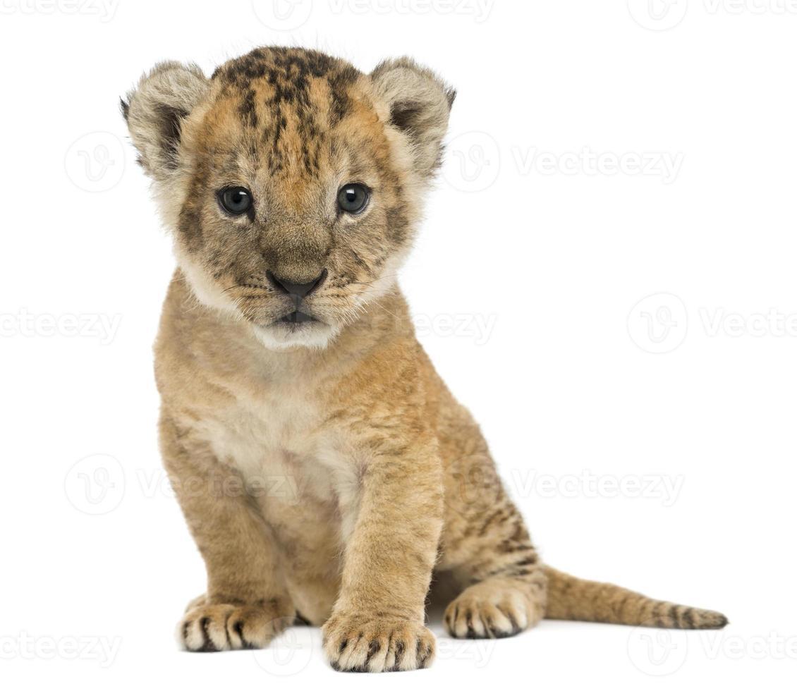 cucciolo di leone seduto, guardando la telecamera, 16 giorni foto