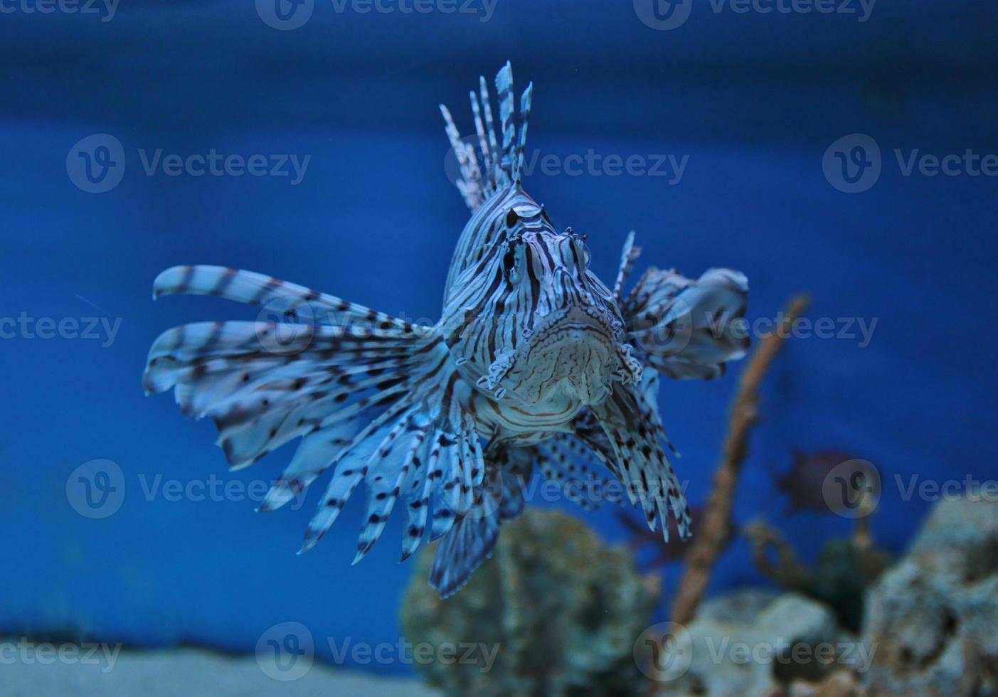 pesce leone foto