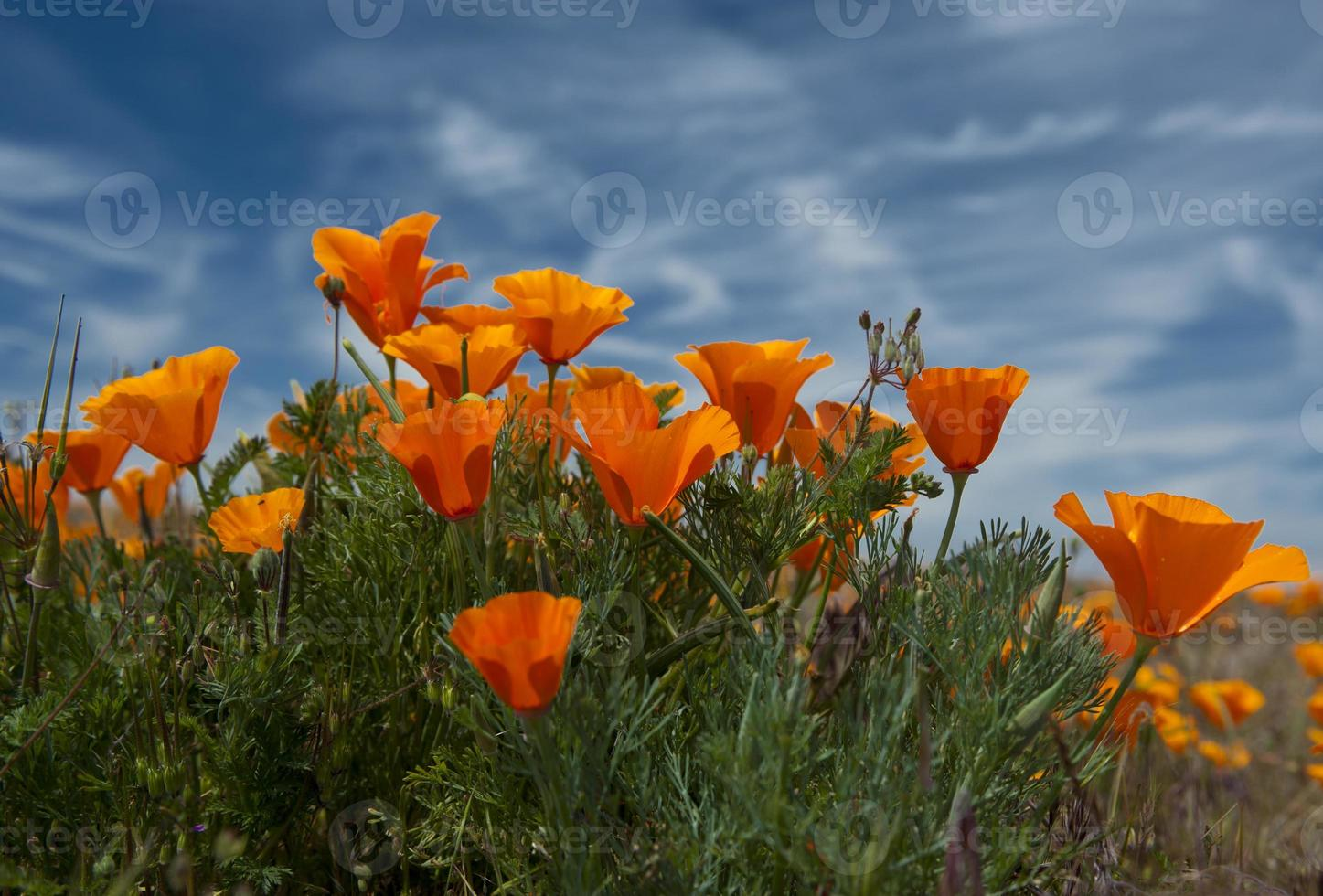 papaveri della California foto