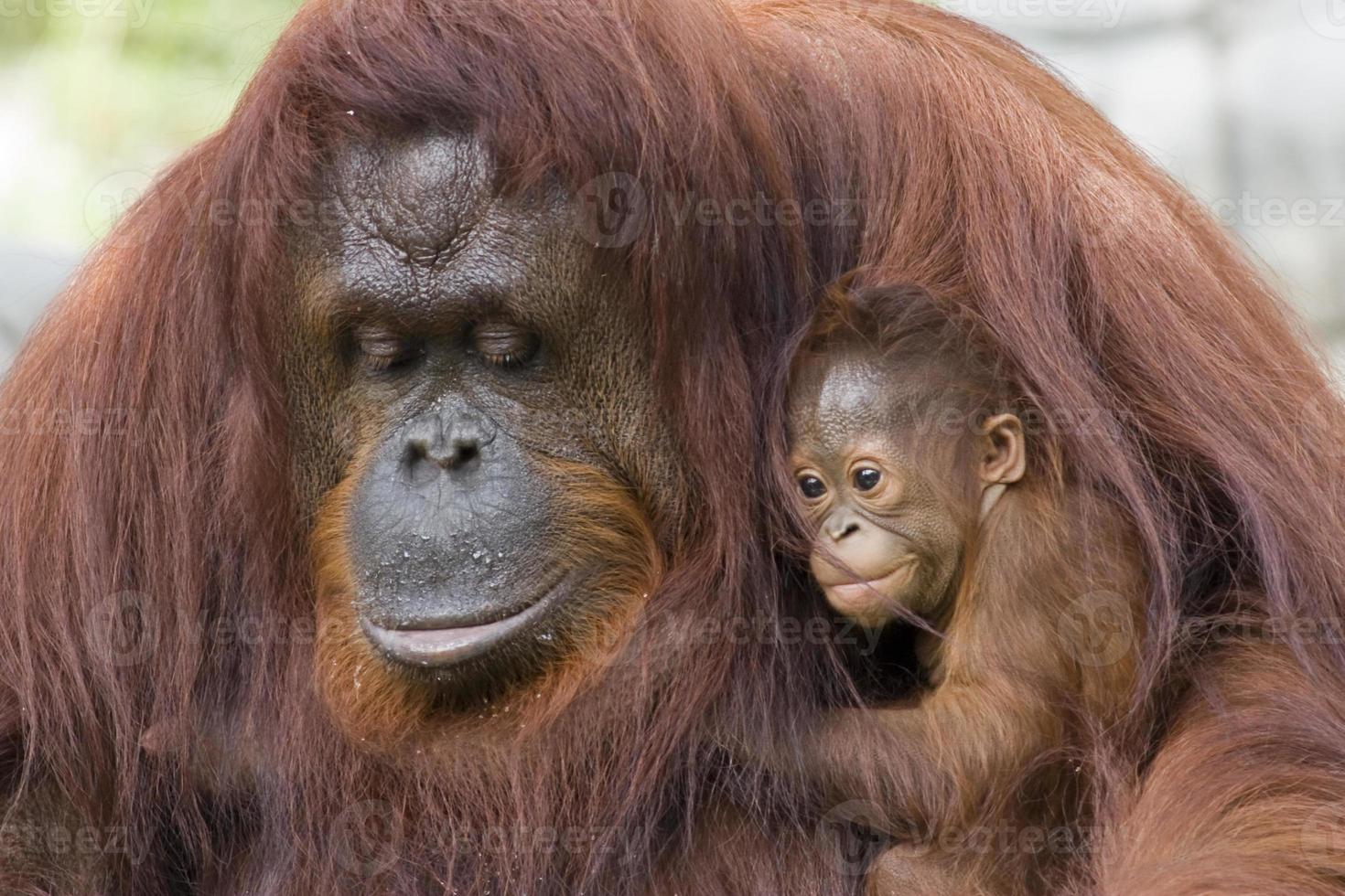 orangutan e baby foto