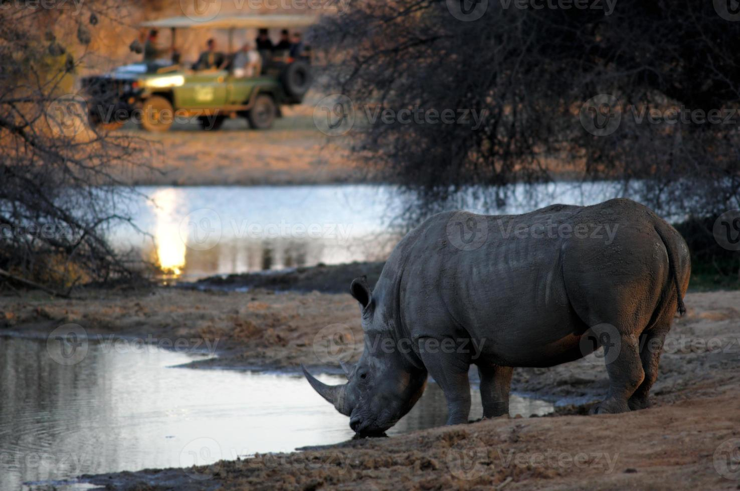 rinoceronte bianco che beve, avvistamento da una macchina da safari foto