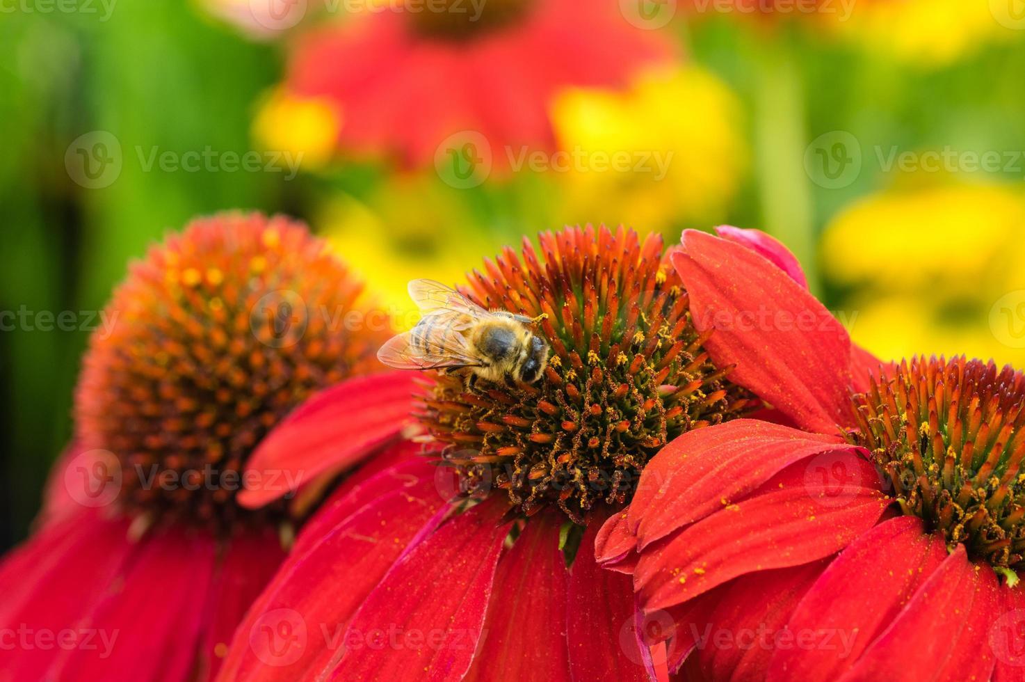 fiori rossi dell'echinacea con un'ape foto