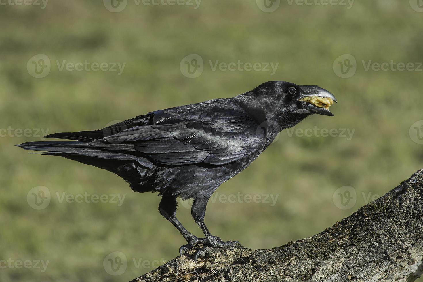 corvus corax foto
