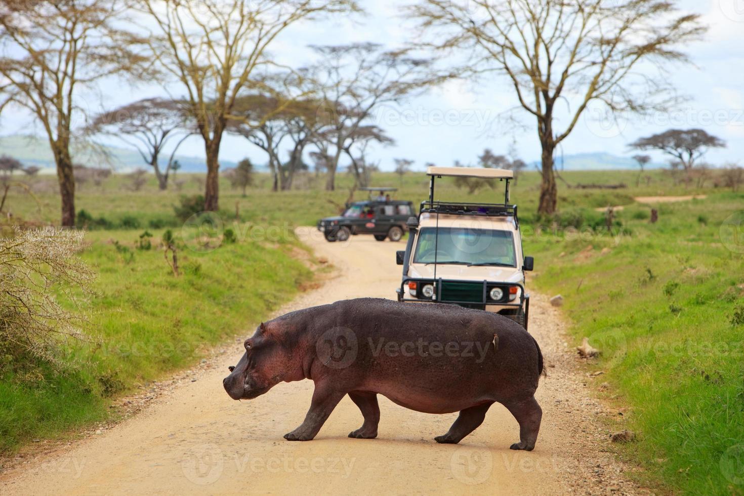 attraversamento dell'ippopotamo davanti alla jeep turistica foto