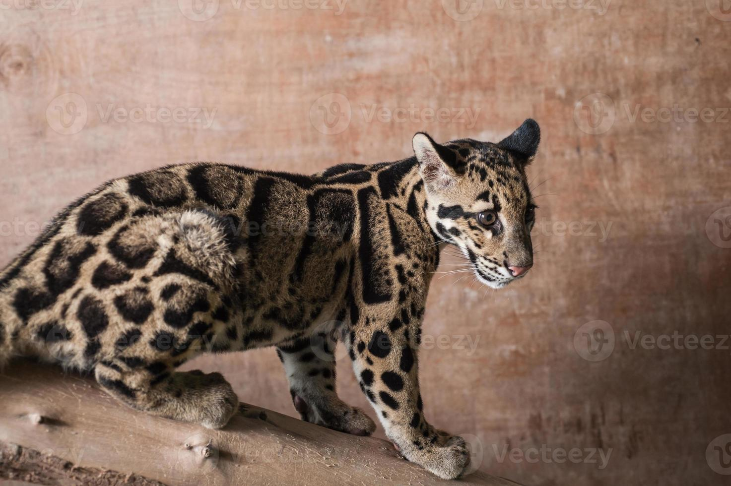 cucciolo di leopardo nebuloso foto