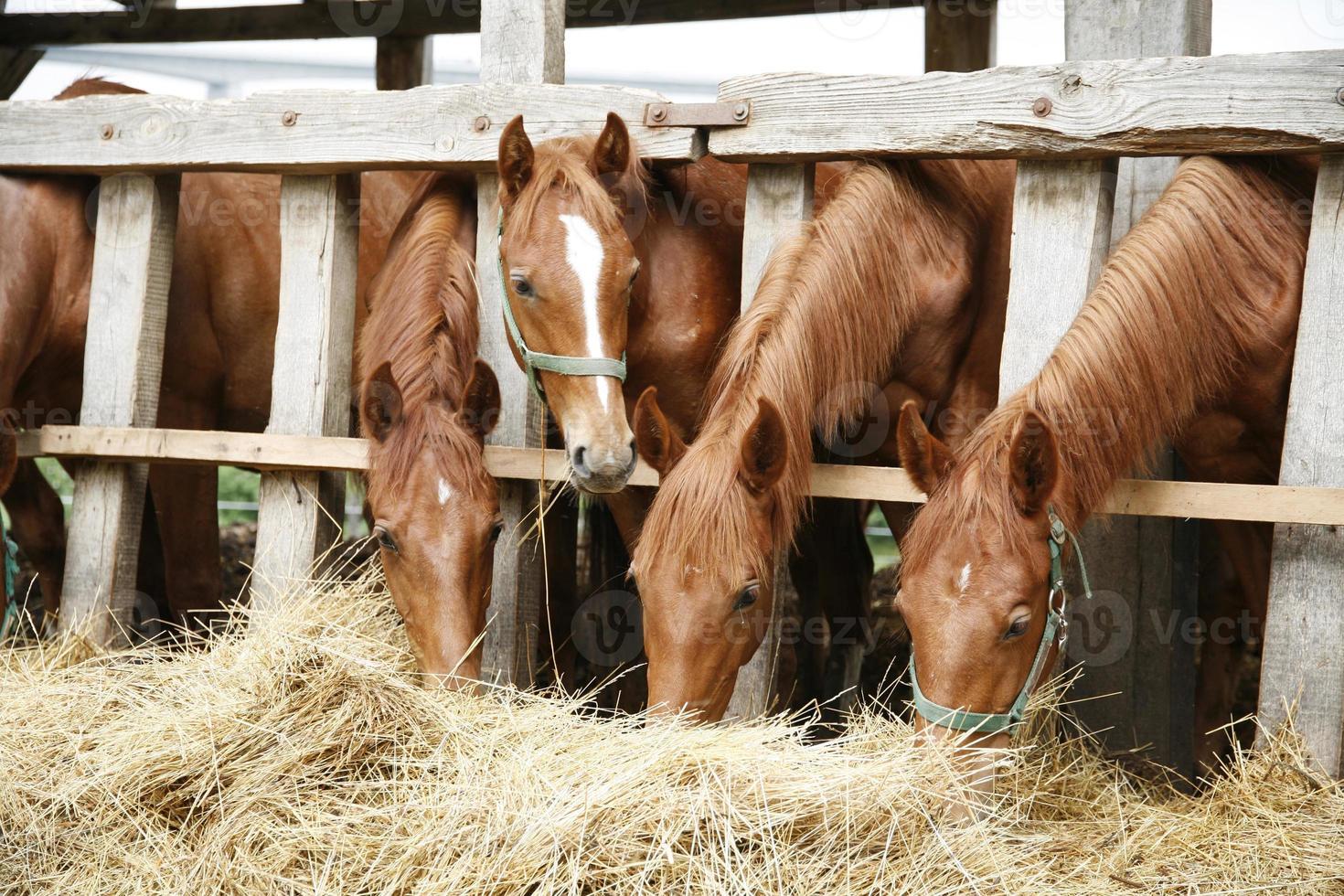 bellissimi giovani cavalli che condividono il fieno nell'allevamento di cavalli foto