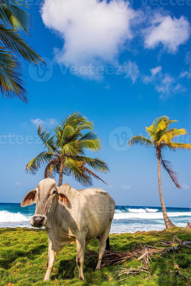 mucca da spiaggia foto