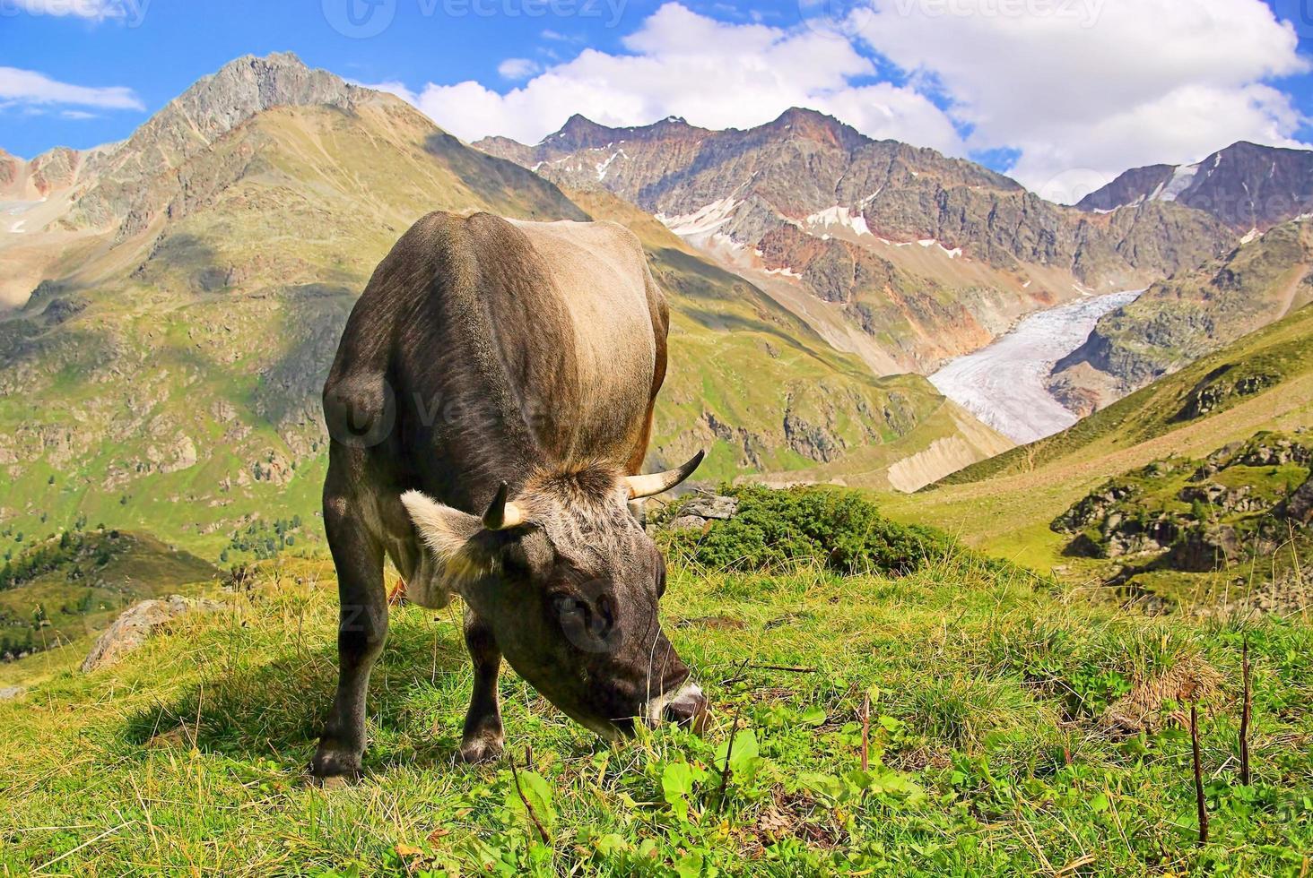 mucca alpina foto