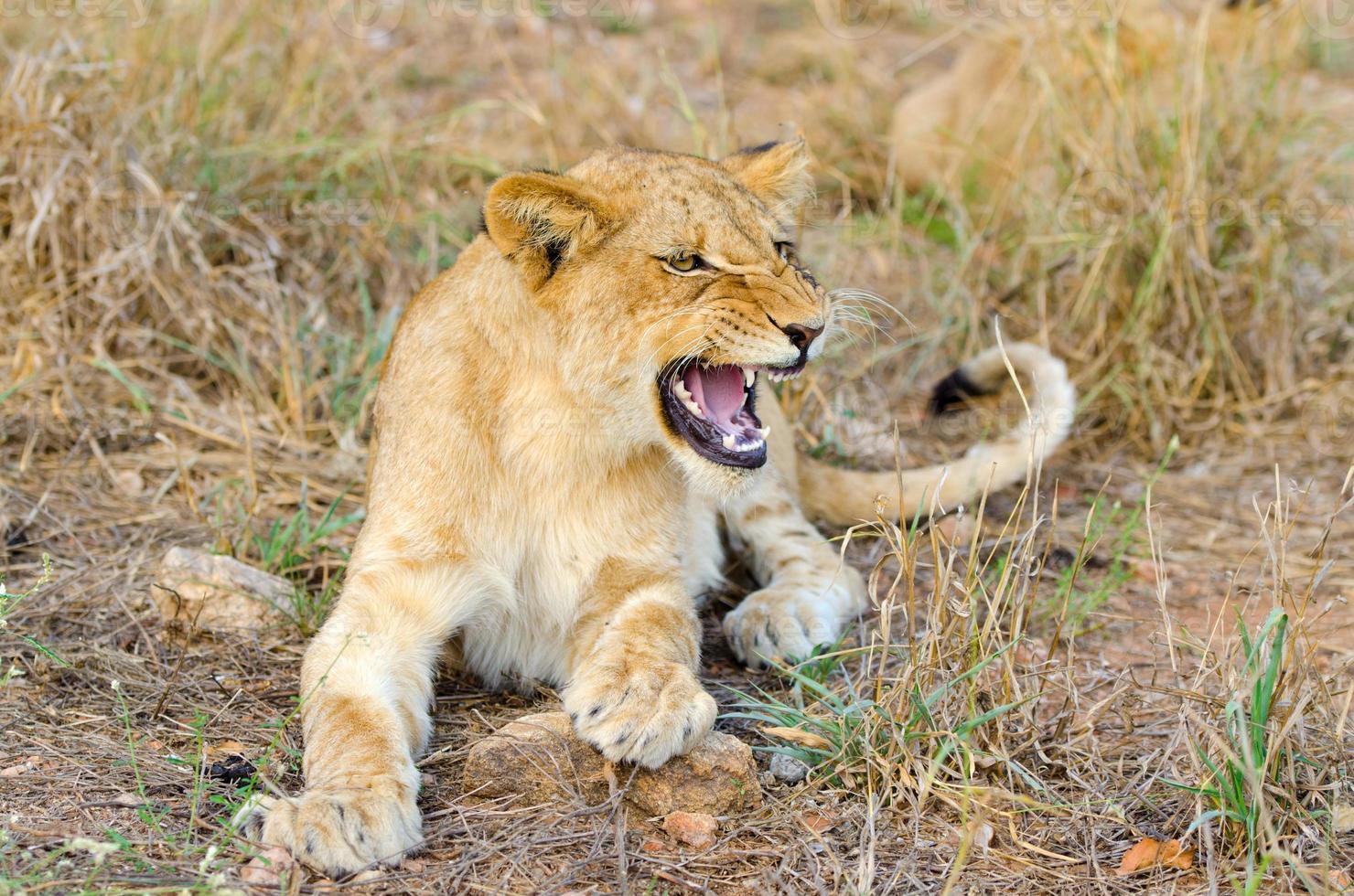 cucciolo di leone che ringhia Sudafrica foto