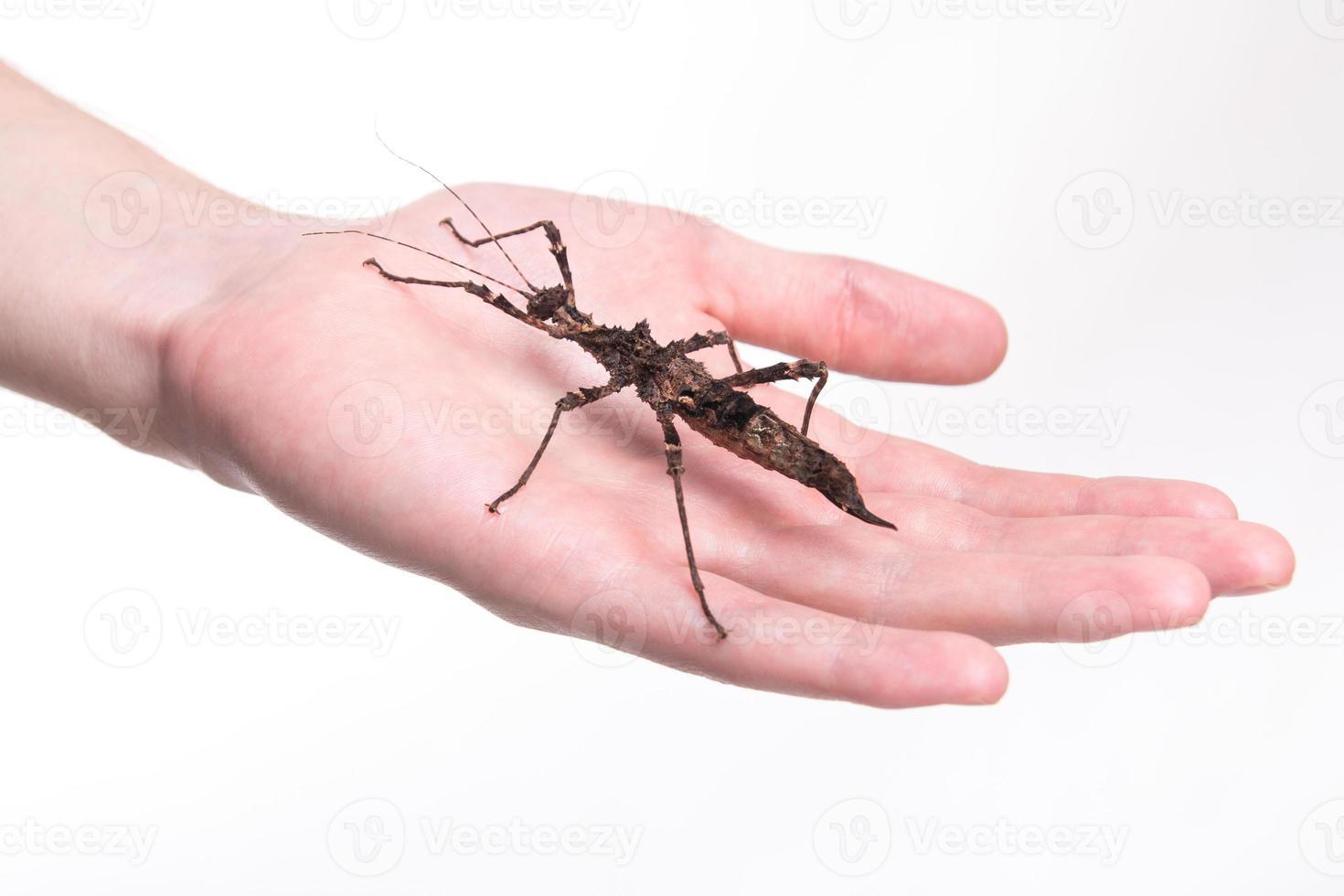 phasmatodea - insetto stecco sulla mano umana foto