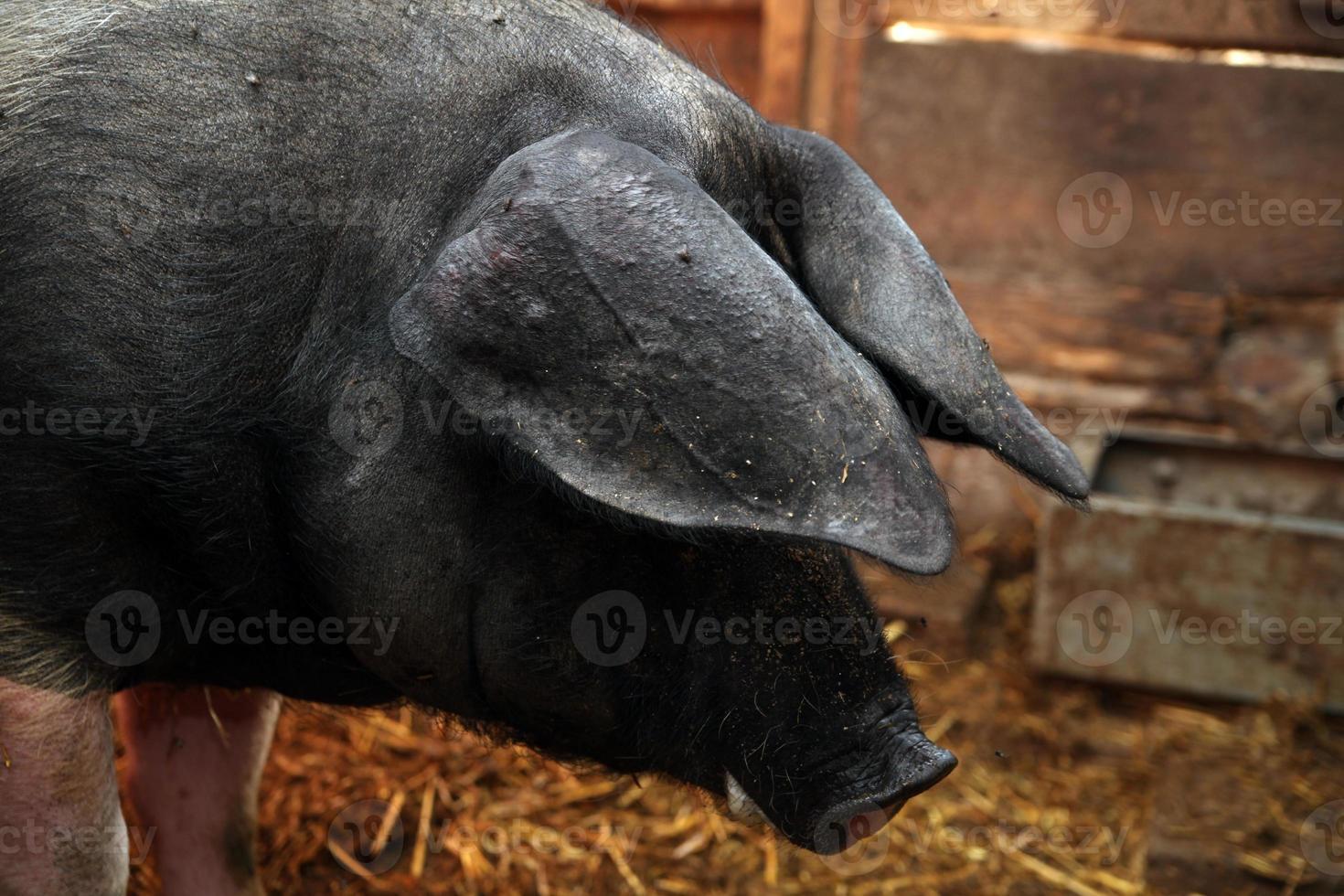 ritratto di maialino divertente foto